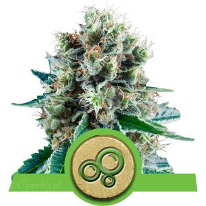 Royal Queen Seeds - Bubble Kush Automatic