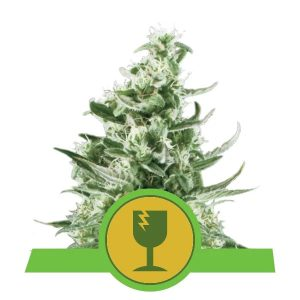 Royal Queen Seeds - Critical Automatic