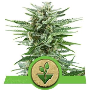 Royal Queen Seeds - Easy Bud Automatic