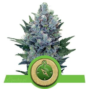 Royal Queen Seeds - Northern Light Automatic