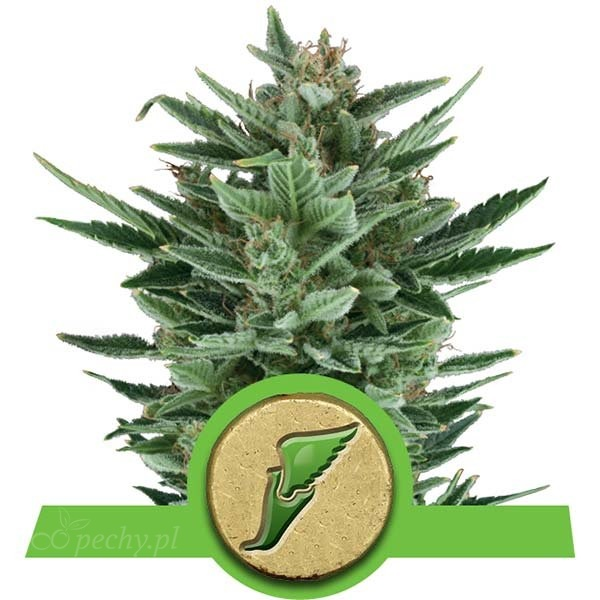 Royal Queen Seeds - Quick One Auto