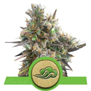 Royal Queen Seeds - Royal Bluematic Auto
