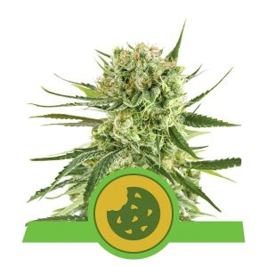 Royal - Queen Seeds Automatic