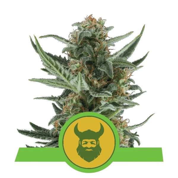 Royal Queen Seeds - Royal Dwarf Auto