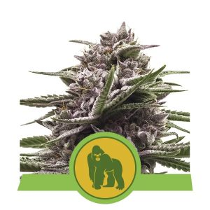 Royal Queen Seeds - Royal Gorilla Automatic