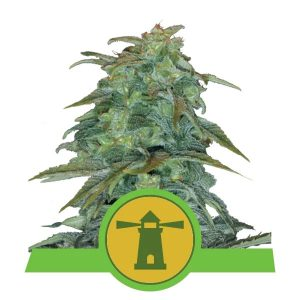 Royal Queen Seeds - Royal Haze Automatic
