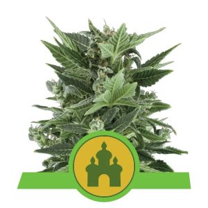 Royal Queen Seeds - Royal Kush Automatic