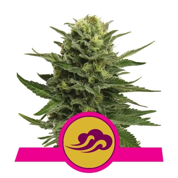 Royal Queen Seeds - Blue Mystic