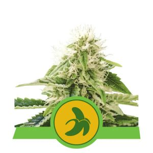 Royal Queen Seeds - Fat Banana Automatic