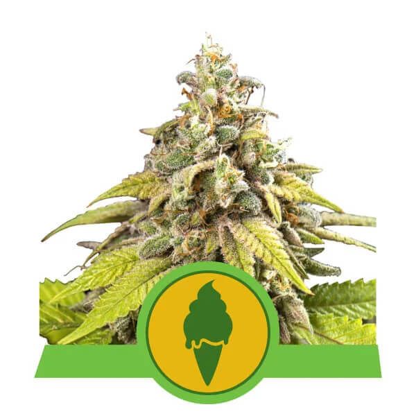 Royal Queen Seeds - Green Gelato Automatic