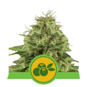 Royal Queen Seeds - Haze Berry Automatic