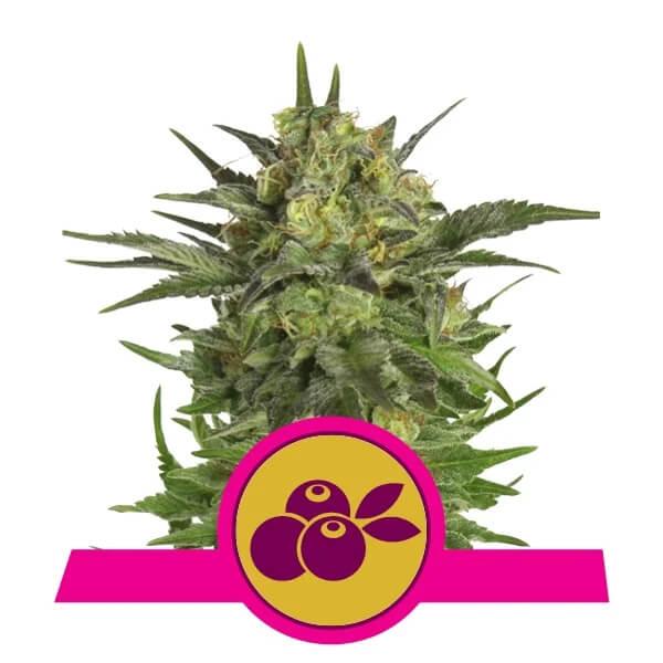 Royal Queen Seeds - Haze Berry