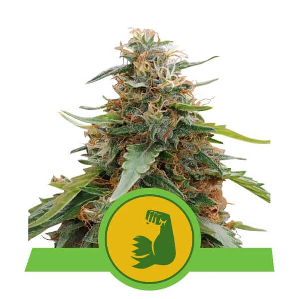 Royal Queen Seeds - Hulkberry Automatic