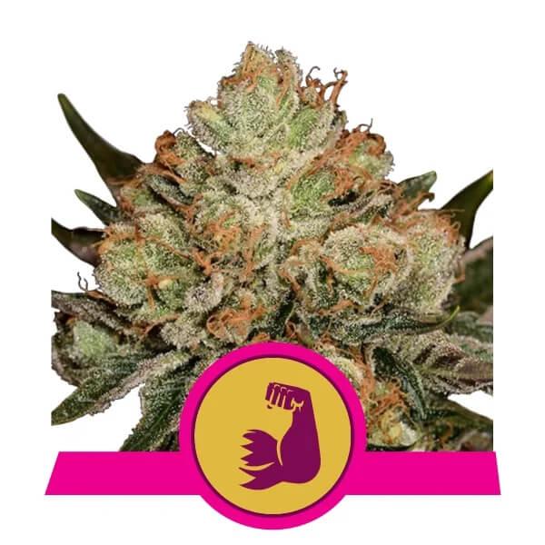 Royal Queen Seeds - Hulkberry