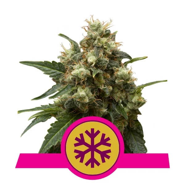 Royal Queen Seeds - Ice
