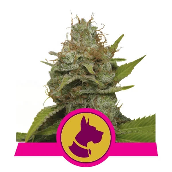 Royal Queen Seeds - Kali Dog