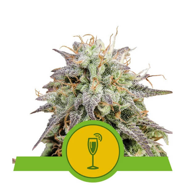 Royal Queen Seeds - Mimosa Automatic