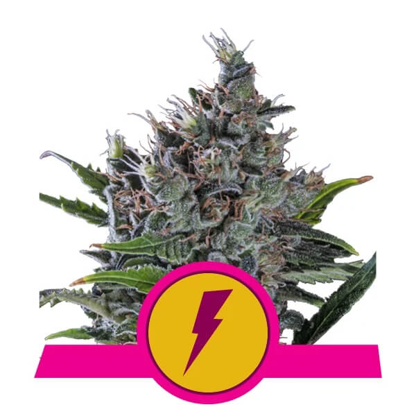Royal Queen Seeds - North Thunderfuck