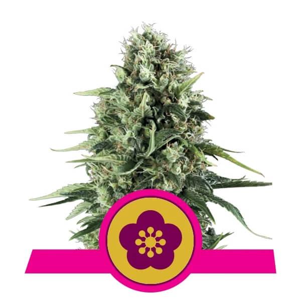 Royal Queen Seeds - Power Flower