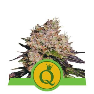 Royal Queen Seeds - Purple Queen Automatic