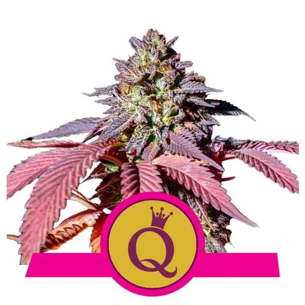 Royal Queen Seeds - Purple Queen