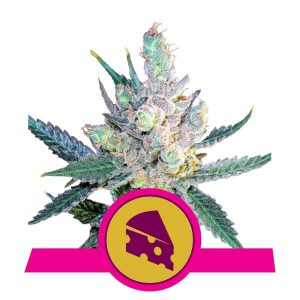 Royal Queen Seeds - Royal Cheese (Fast Version)