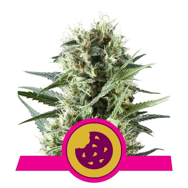 Royal Queen Seeds - Royal Cookies