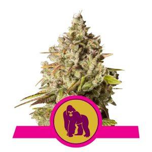 Royal Queen Seeds - Royal Gorilla