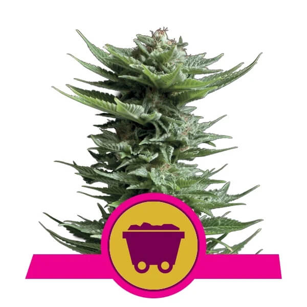 Royal Queen Seeds - Shining Silver Haze