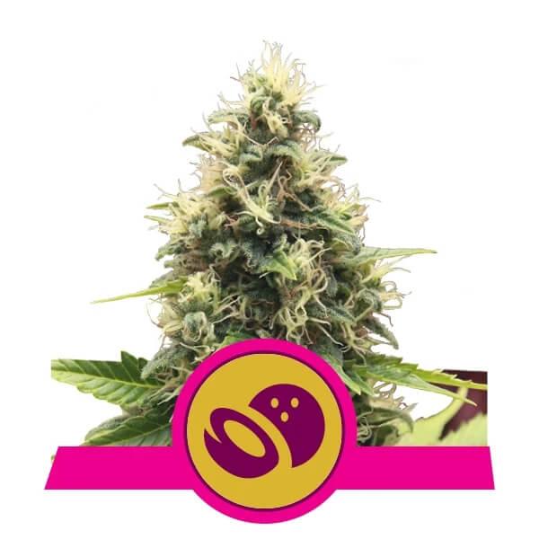 Royal Queen Seeds - Somango XL