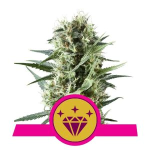 Royal Queen Seeds - Special Kush 1