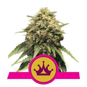 Royal Queen Seeds - Special Queen 1
