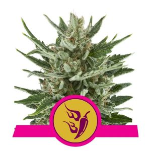 Royal Queen Seeds - Speedy Chile (Fast Version)
