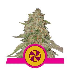 Royal Queen Seeds - Sweet ZZ