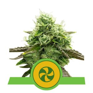 Royal Queen Seeds - Sweet ZZ Automatic