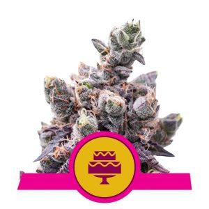 Royal Queen Seeds - Wedding Gelato