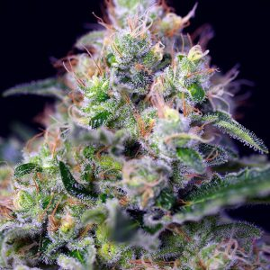 Sweet Seeds - Cream Caramel