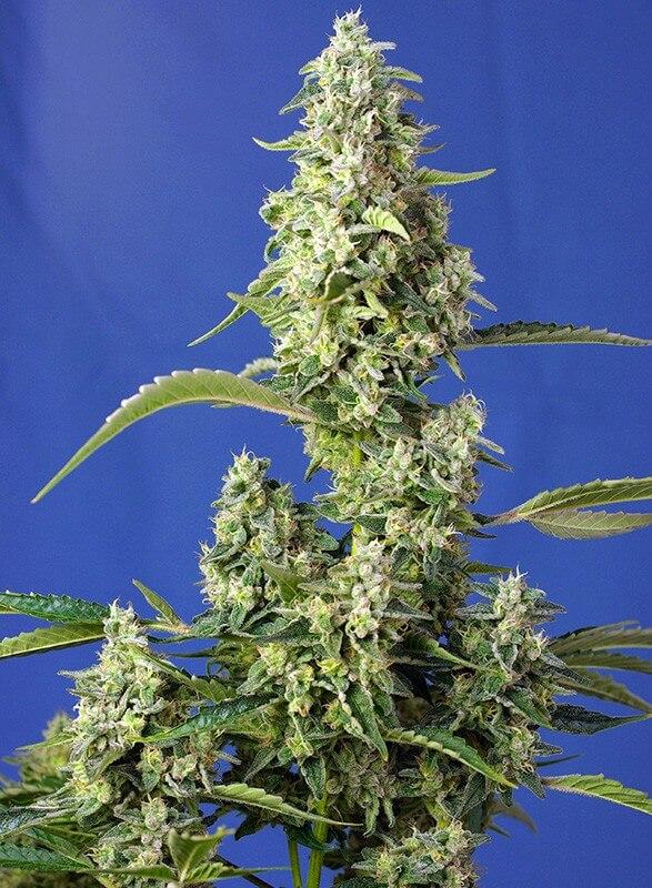Sweet Seeds - Gorilla Girl XL Auto