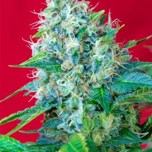 Sweet Seeds - Green Poison