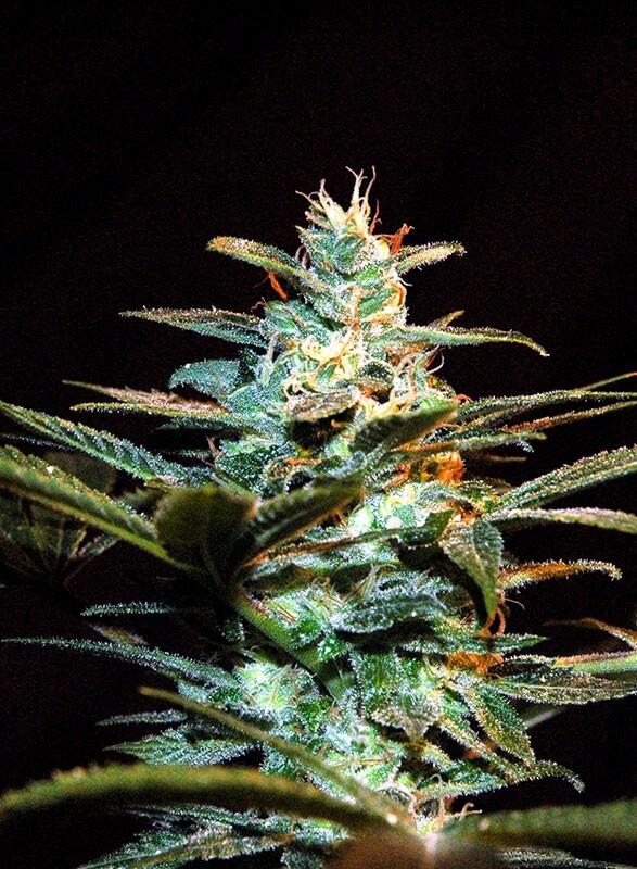 Sweet Seeds - Ice Cool