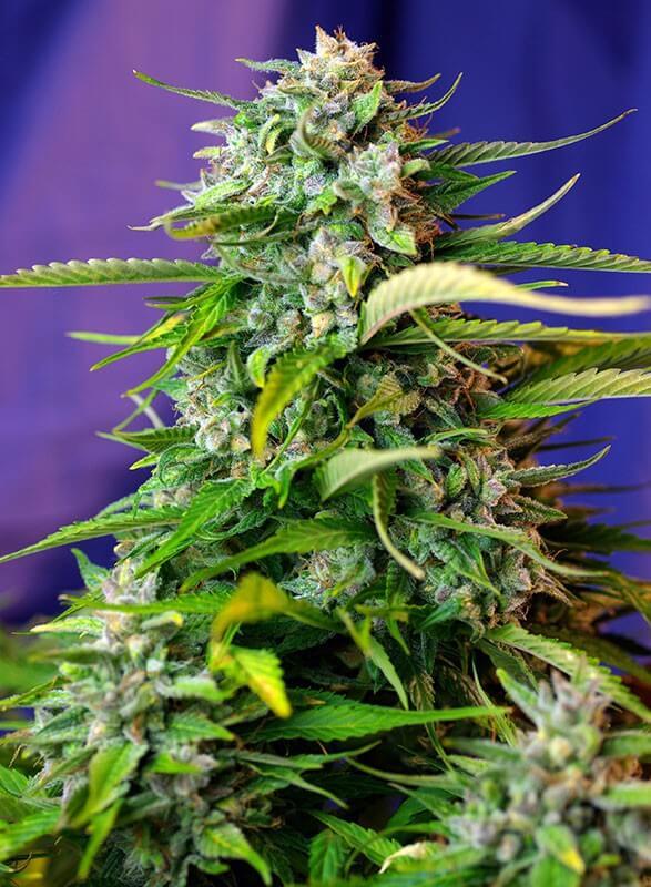 Sweet Seeds - Jack 47 Auto