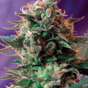 Sweet Seeds - Jack 47 Fast Version