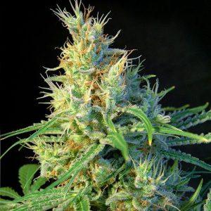 Sweet Seeds - Psicodelicia