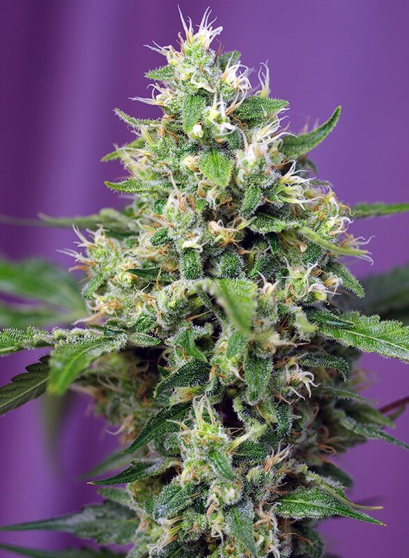 Sweet Seeds - Sweet Amnesia Haze XL Auto