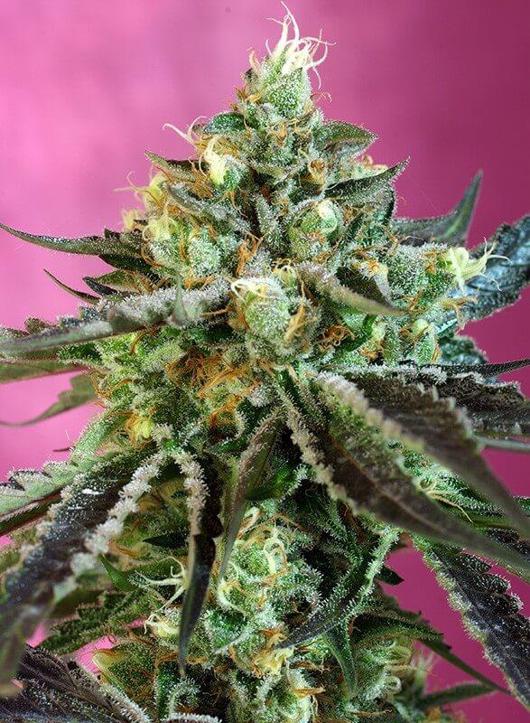Sweet Seeds - Sweet Nurse Auto CBD