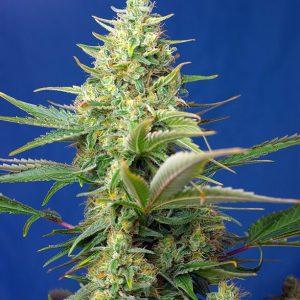 Sweet Seeds - Sweet Pure Auto CBD