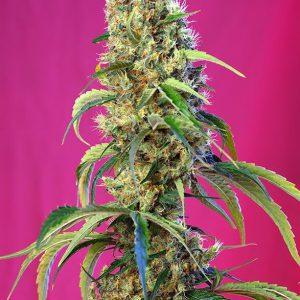 Sweet Seeds - Black Jack CBD