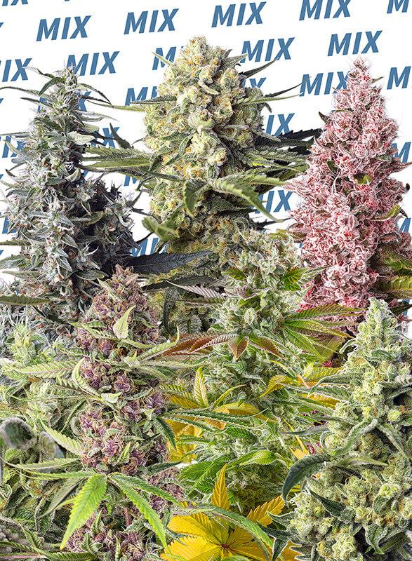 Sweet Seeds - Sweet MIX Fotoperiod