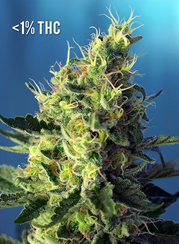 Sweet Seeds - Sweet Pure CBD