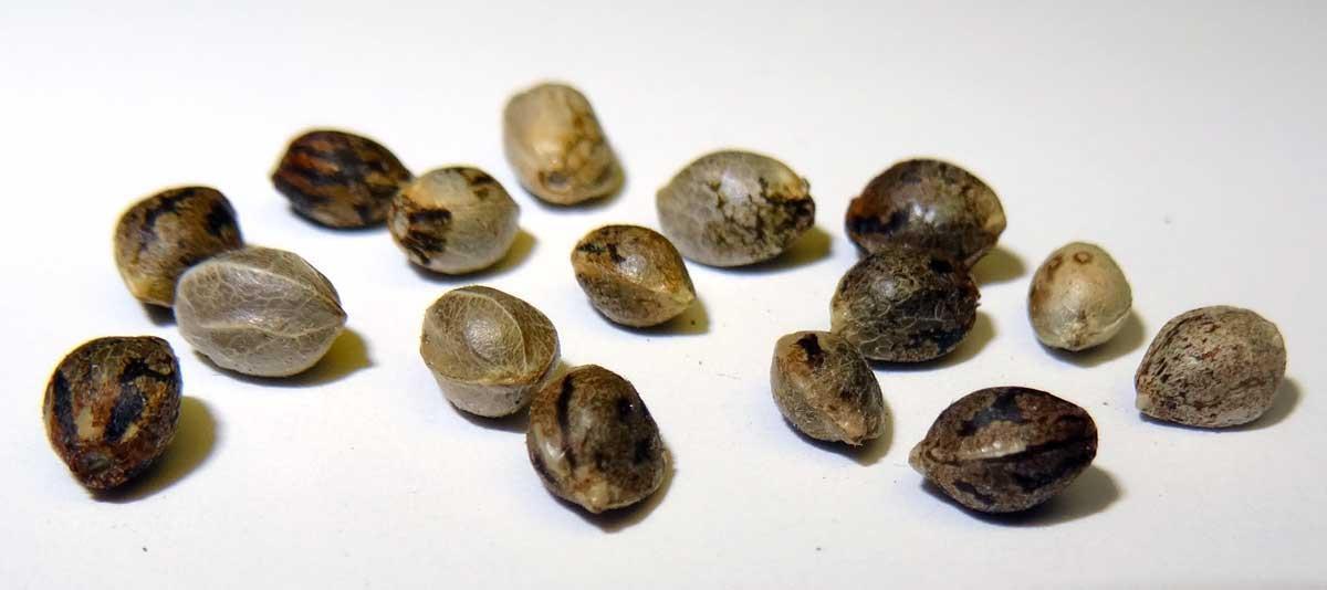 tanie nasiona marihuany